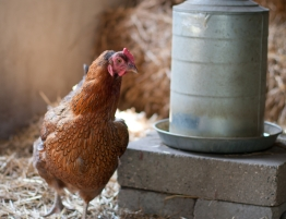 chicken and waterer
